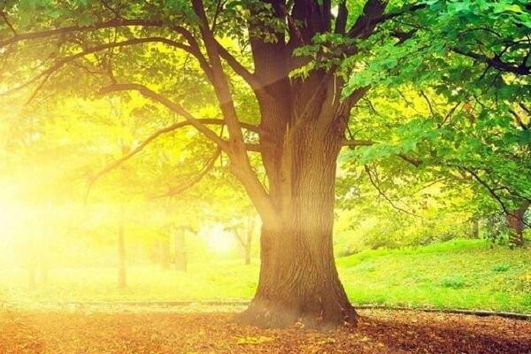 дерево под спил